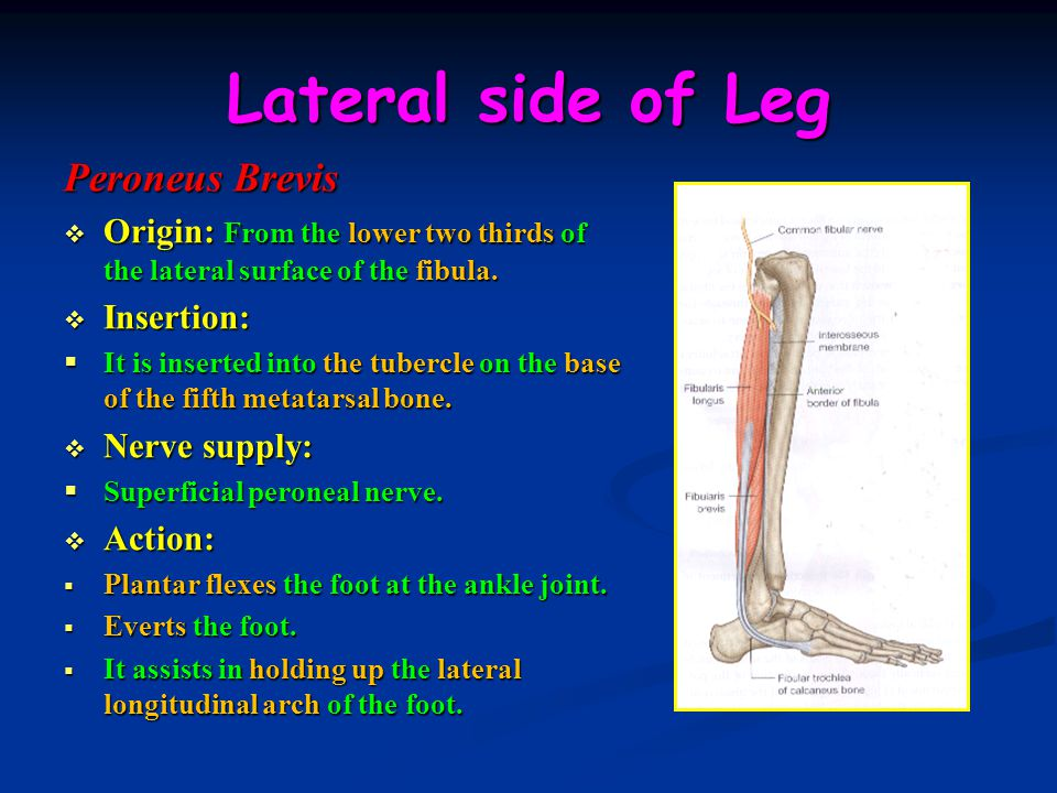 Lateral side of Leg Peroneus Brevis
