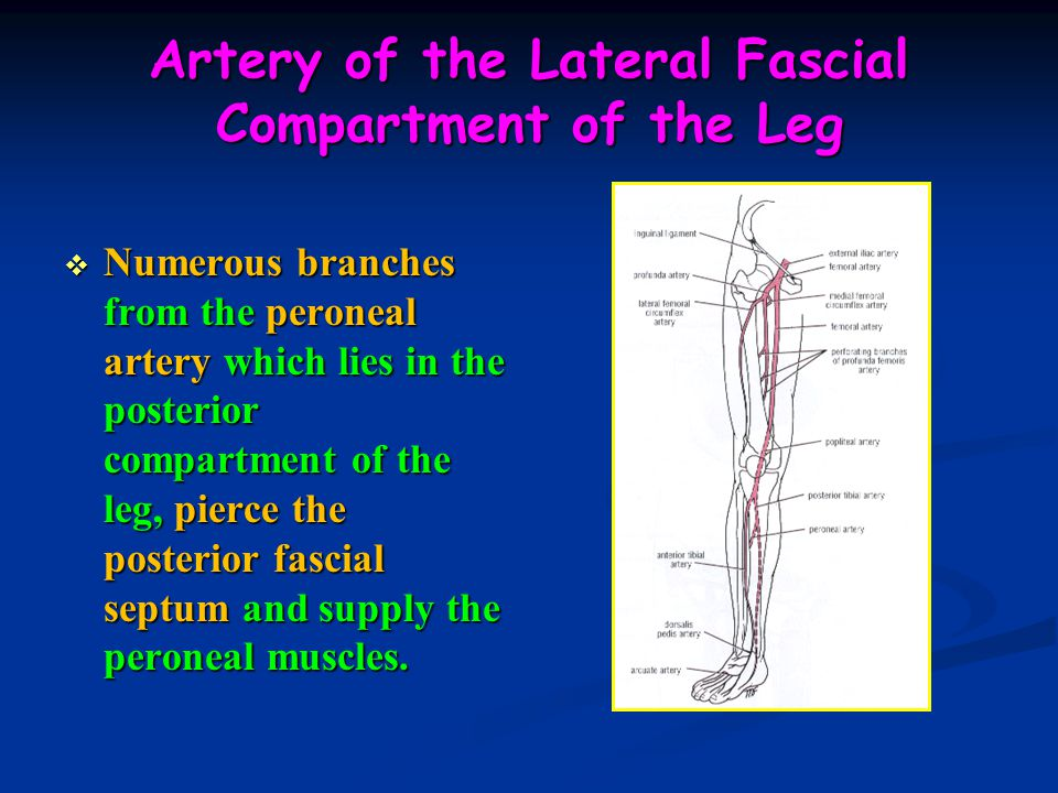 Artery of the Lateral Fascial Compartment of the Leg