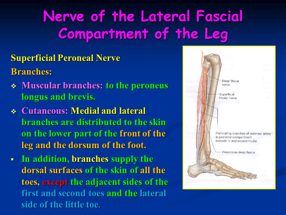 Nerve of the Lateral Fascial Compartment of the Leg
