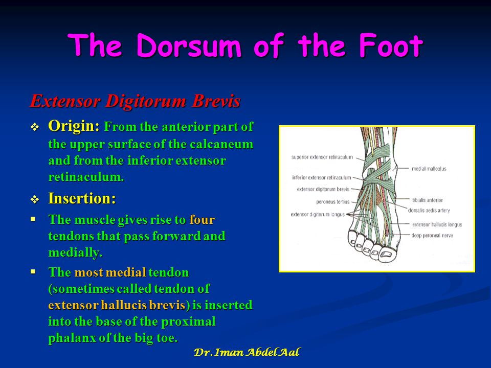 The Dorsum of the Foot Extensor Digitorum Brevis