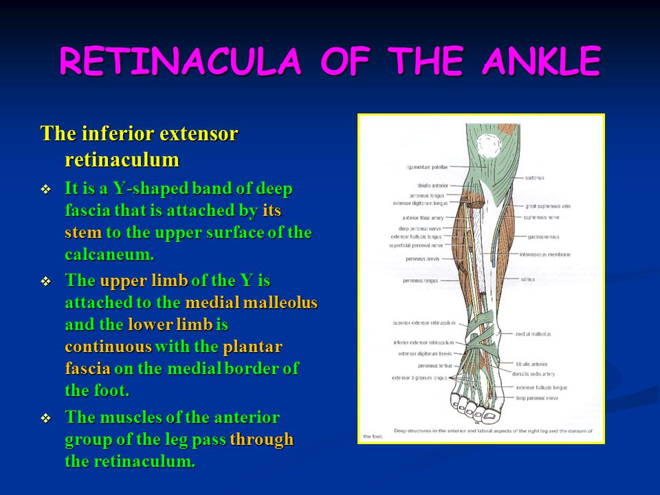 RETINACULA OF THE ANKLE
