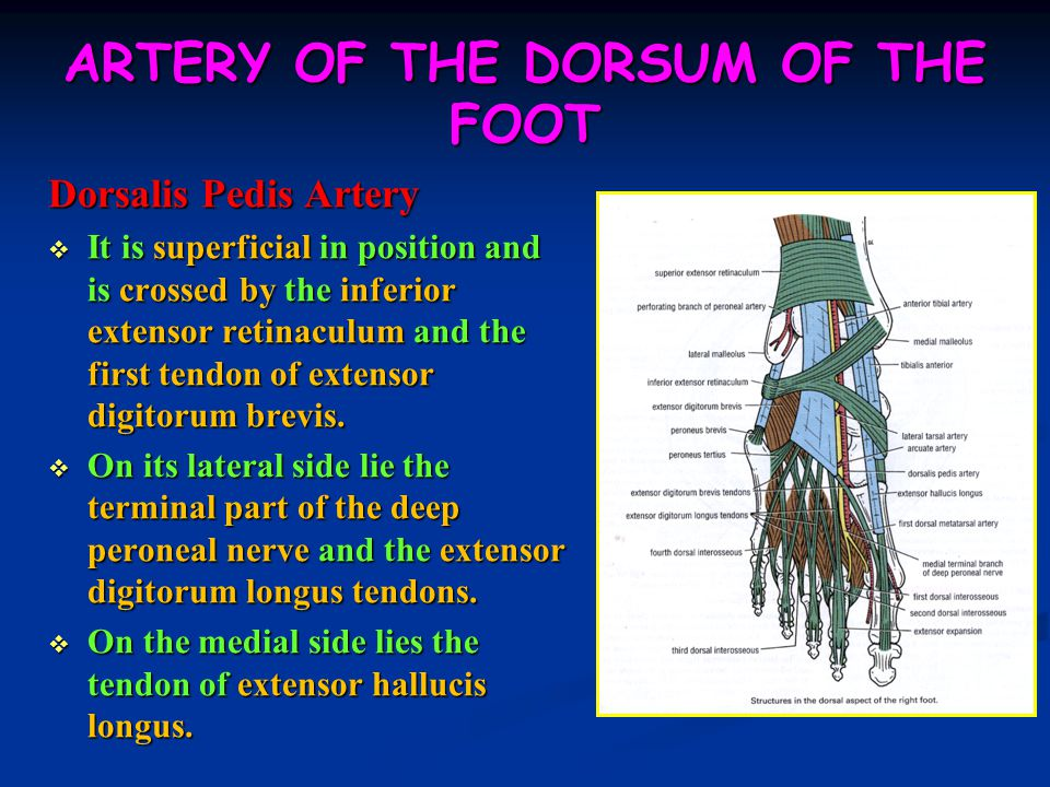 ARTERY OF THE DORSUM OF THE FOOT