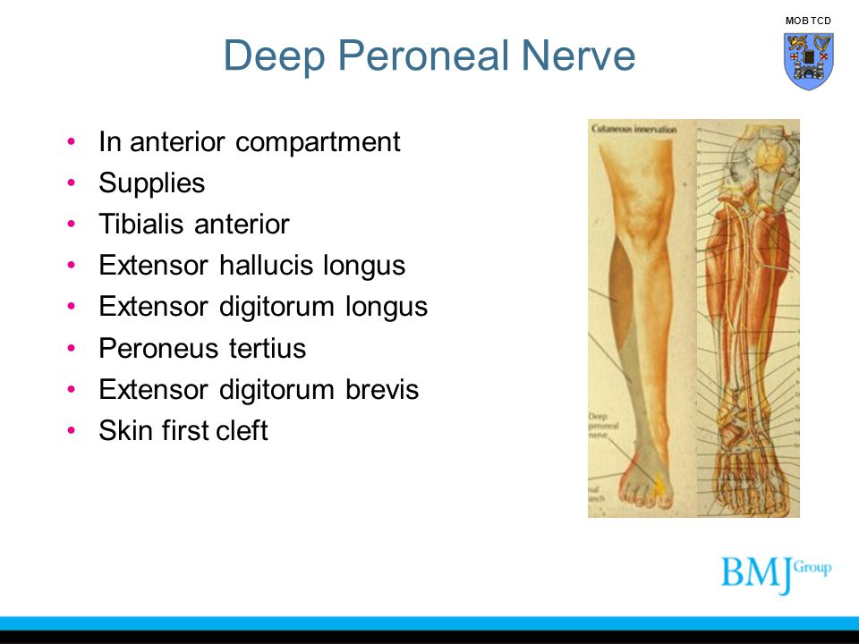Deep Peroneal Nerve In anterior compartment Supplies Tibialis anterior