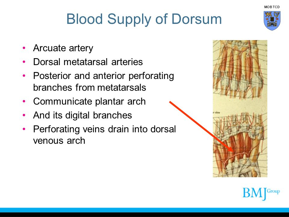 Blood Supply of Dorsum Arcuate artery Dorsal metatarsal arteries