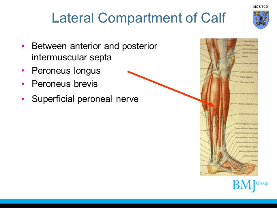 Lateral Compartment of Calf