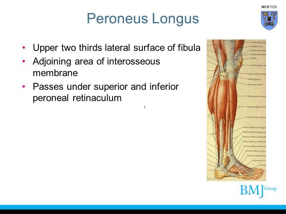 Peroneus Longus Upper two thirds lateral surface of fibula