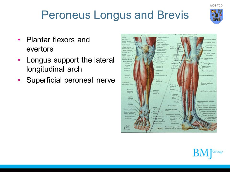 Peroneus Longus and Brevis