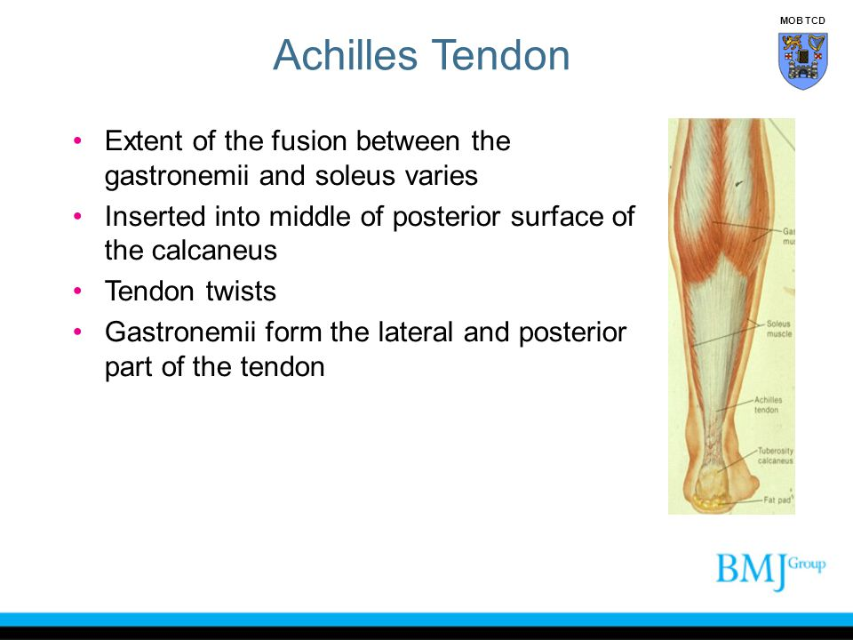 Achilles Tendon MOB TCD. Extent of the fusion between the gastronemii and soleus varies. Inserted into middle of posterior surface of the calcaneus.
