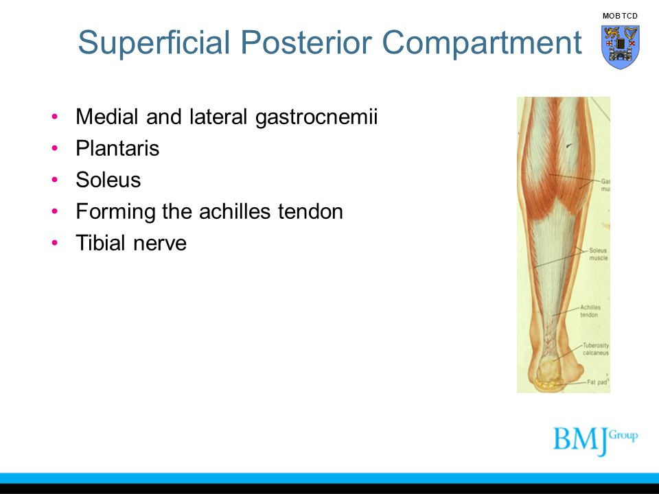 Superficial Posterior Compartment