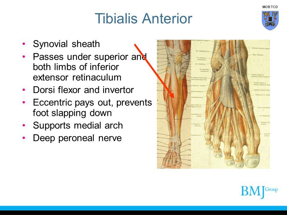 Tibialis Anterior Synovial sheath