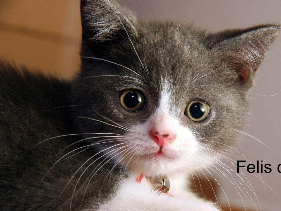 Felis catus Binomial Nomenclature