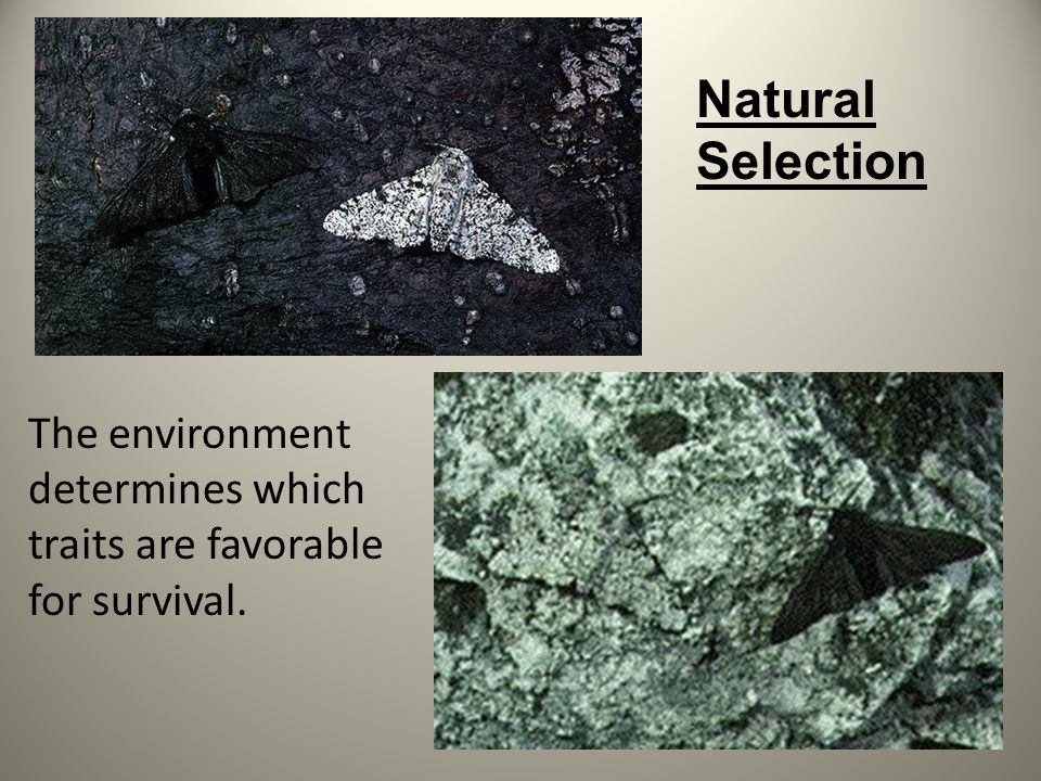 Natural Selection The environment determines which traits are favorable for survival.