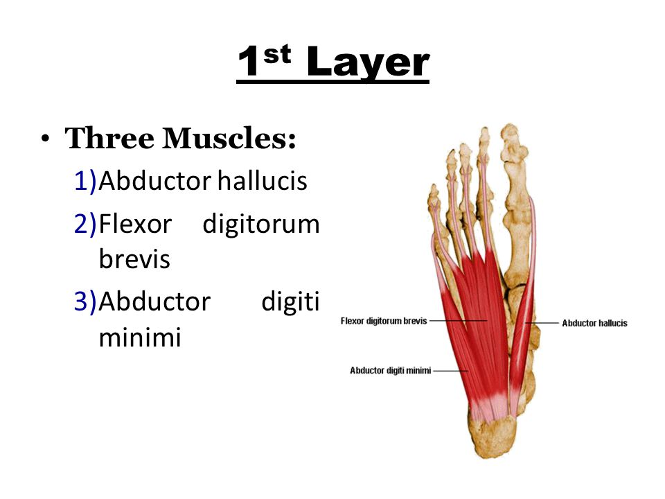 1st Layer Three Muscles: Abductor hallucis Flexor digitorum brevis