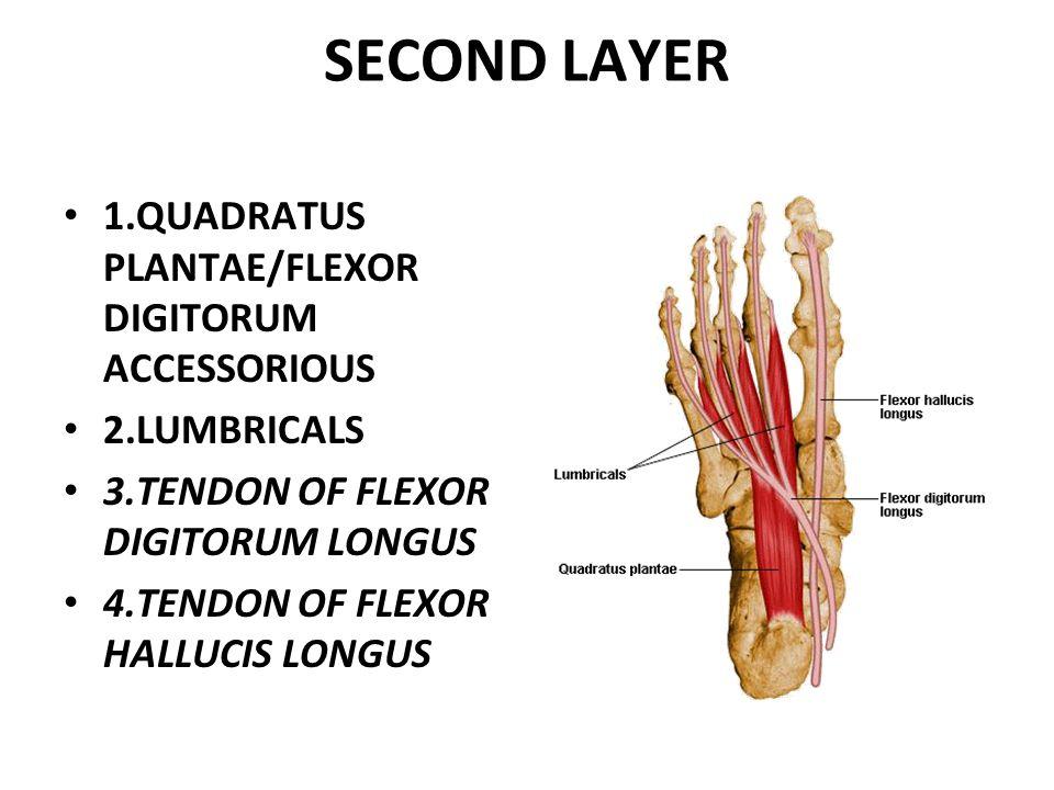SECOND LAYER 1.QUADRATUS PLANTAE/FLEXOR DIGITORUM ACCESSORIOUS