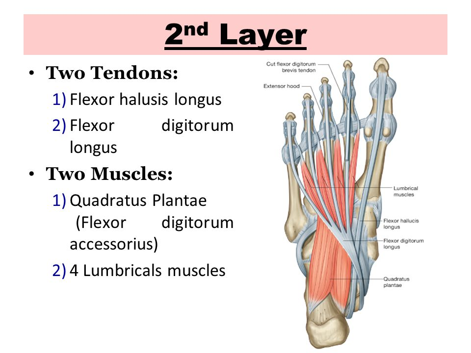 2nd Layer Two Tendons: Flexor halusis longus Flexor digitorum longus