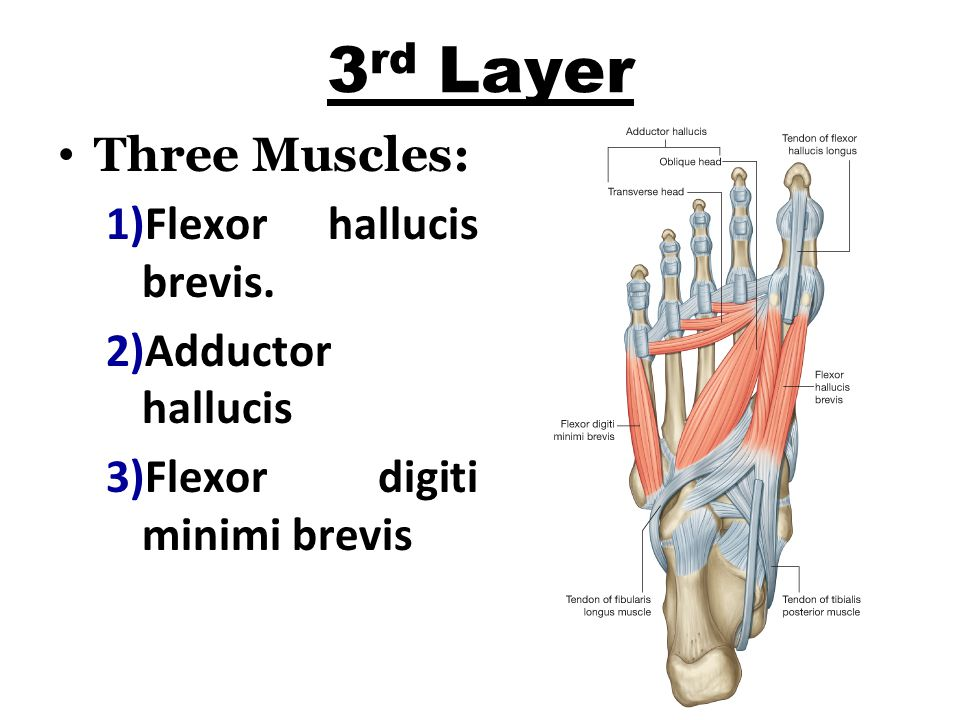 3rd Layer Three Muscles: Flexor hallucis brevis. Adductor hallucis