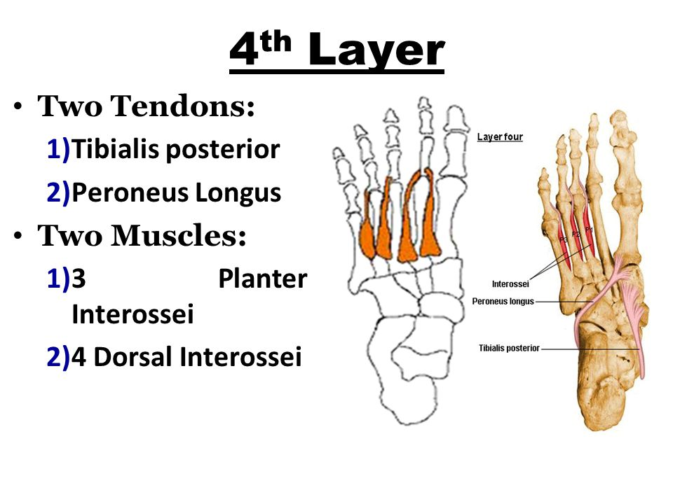 4th Layer Two Tendons: Tibialis posterior Peroneus Longus Two Muscles: