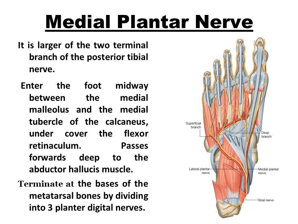 Medial Plantar Nerve It is larger of the two terminal branch of the posterior tibial nerve.