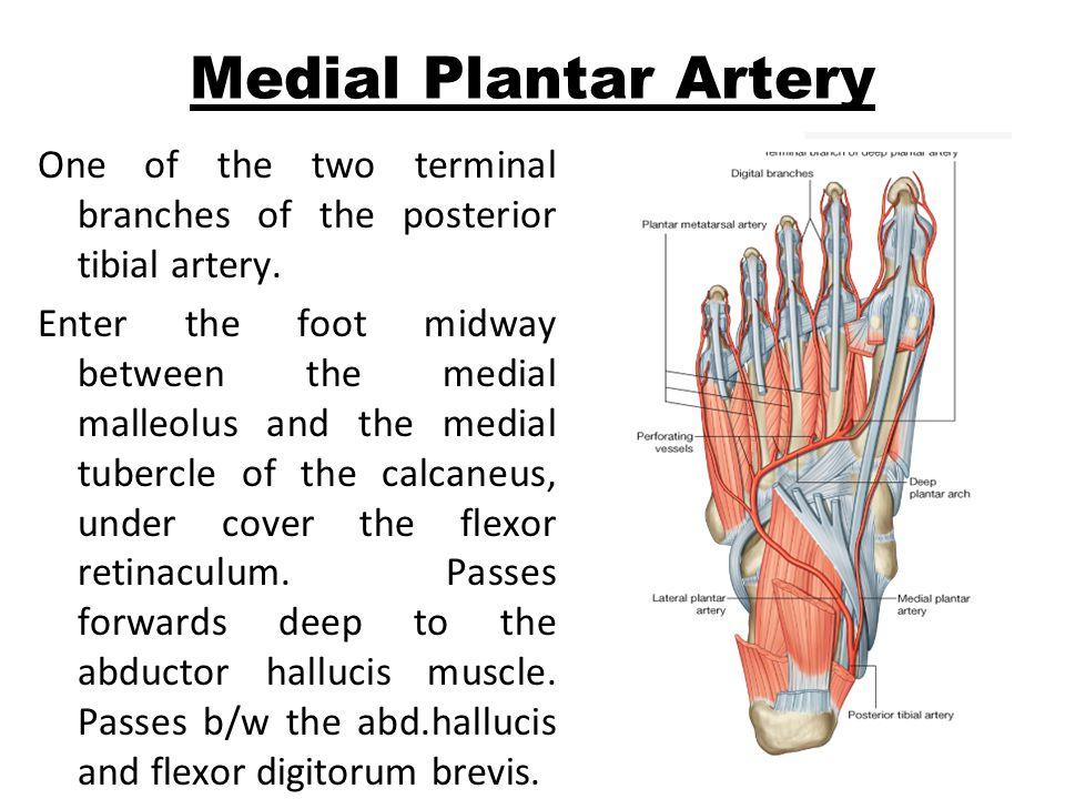 Medial Plantar Artery