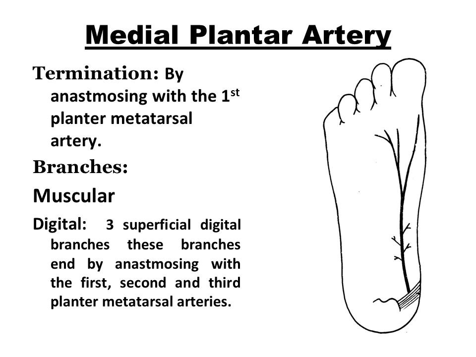 Medial Plantar Artery Muscular