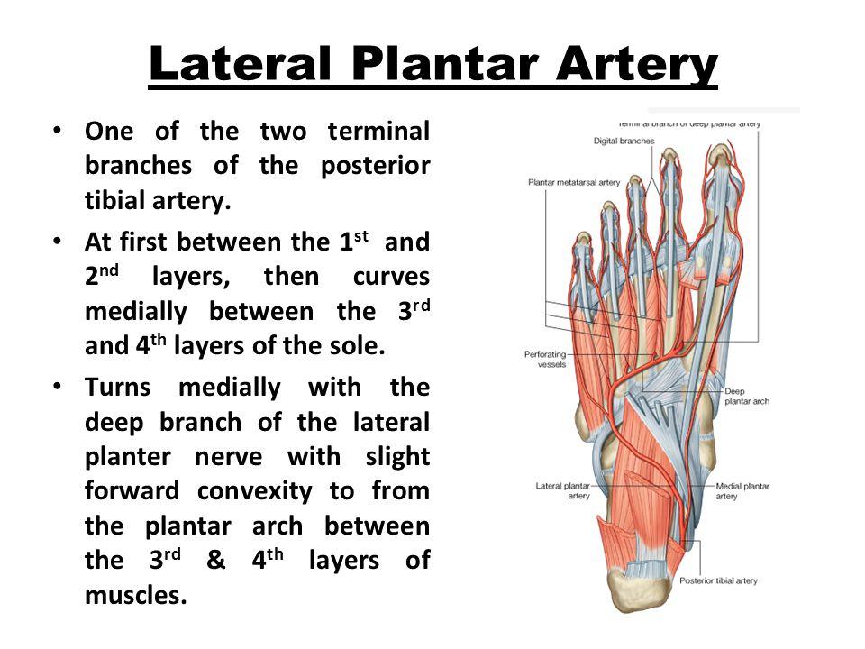 Lateral Plantar Artery