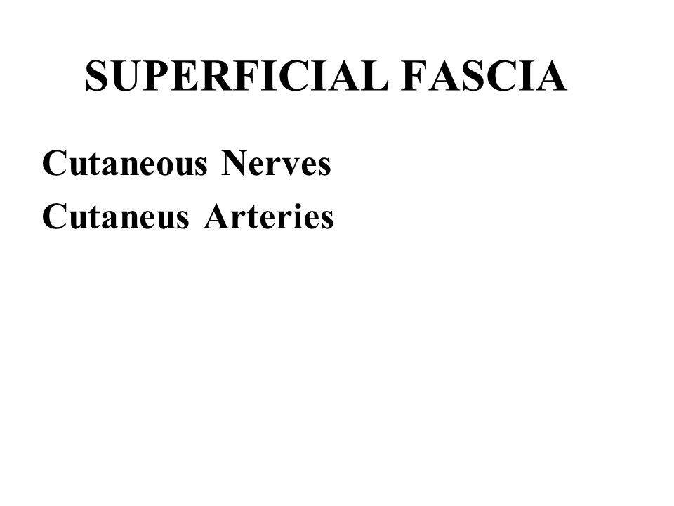 SUPERFICIAL FASCIA Cutaneous Nerves Cutaneus Arteries