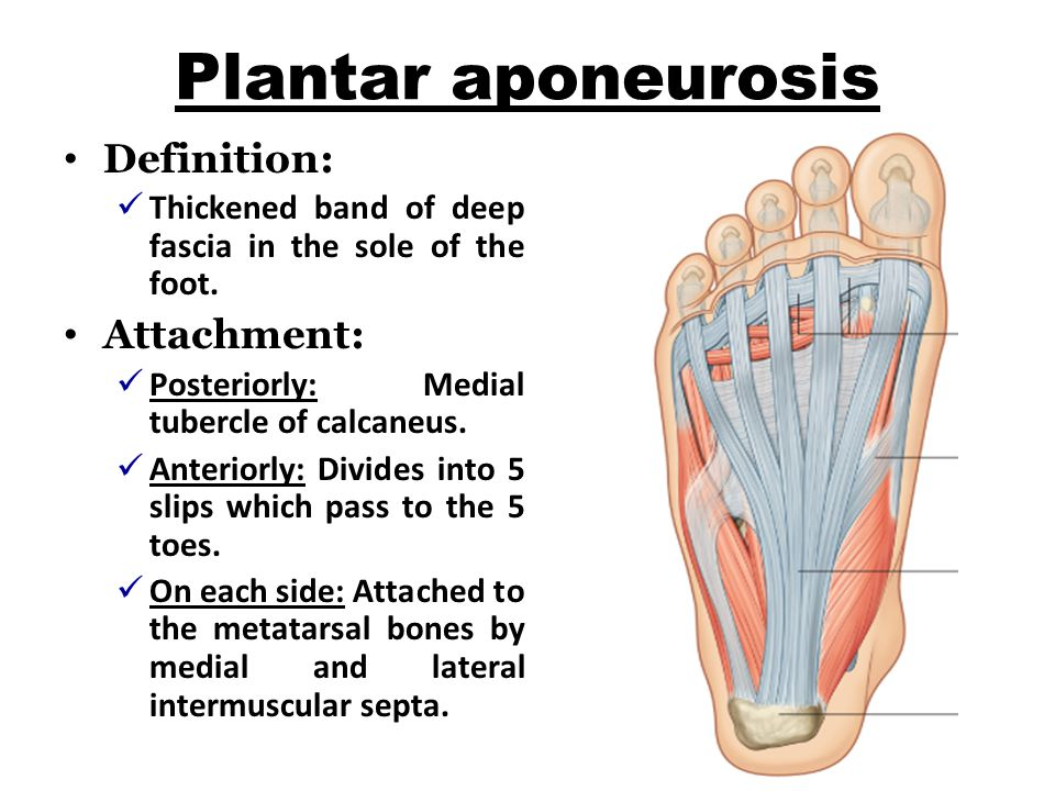 Plantar aponeurosis Definition: Attachment: