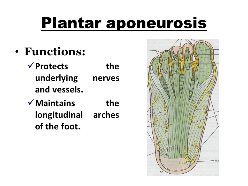 Plantar aponeurosis Functions: