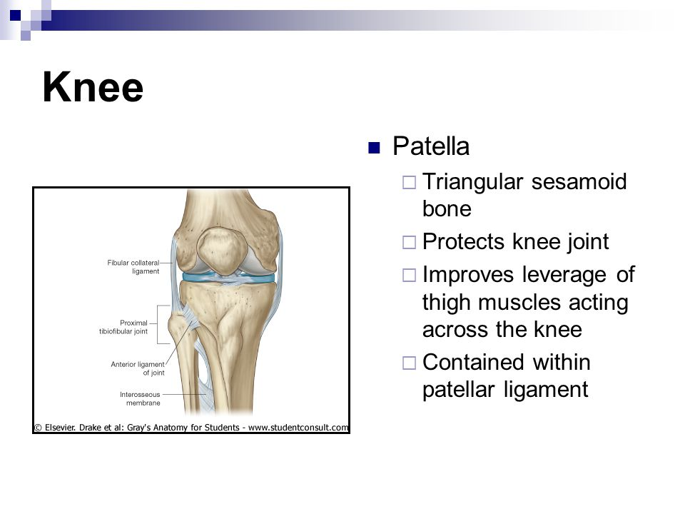 Knee Patella Triangular sesamoid bone Protects knee joint