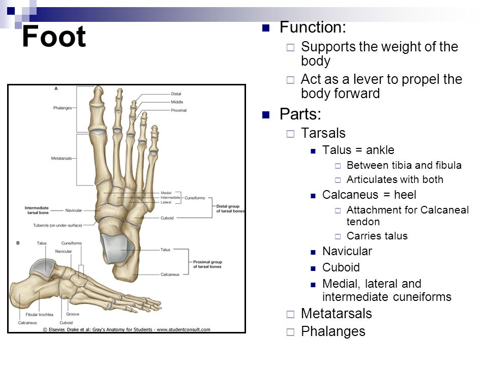Foot Function: Parts: Supports the weight of the body
