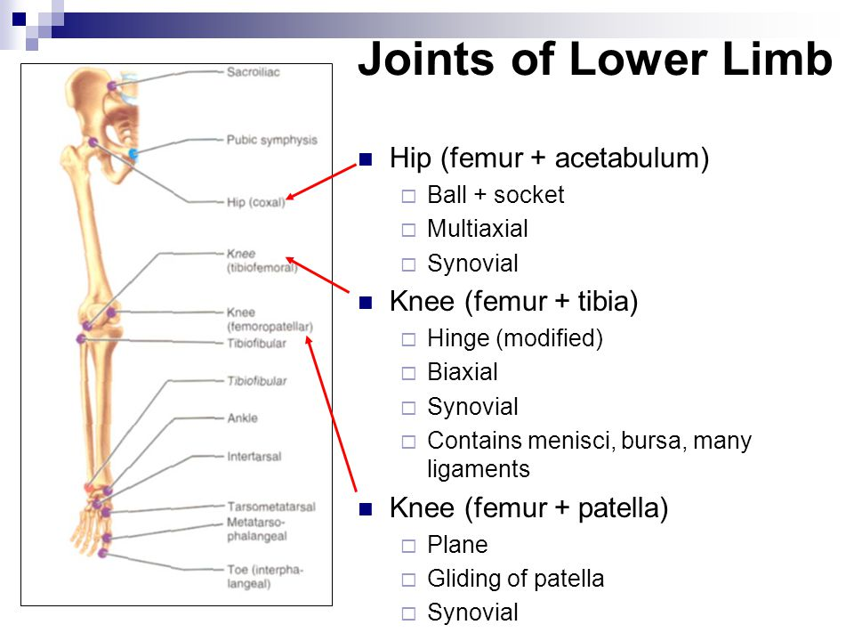 Joints of Lower Limb Hip (femur + acetabulum) Knee (femur + tibia)