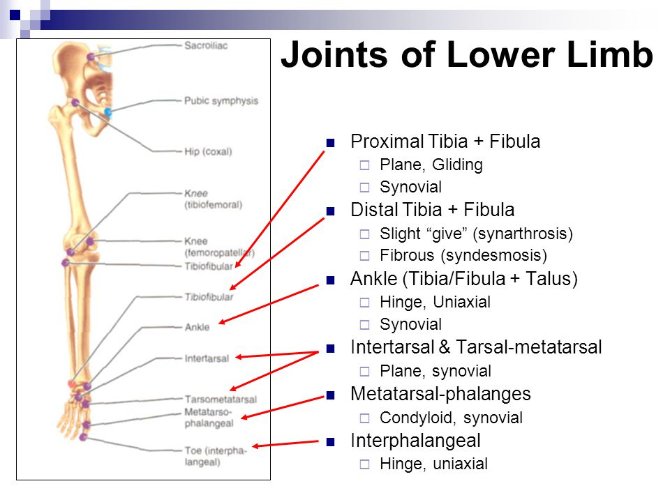Joints of Lower Limb Proximal Tibia + Fibula Distal Tibia + Fibula
