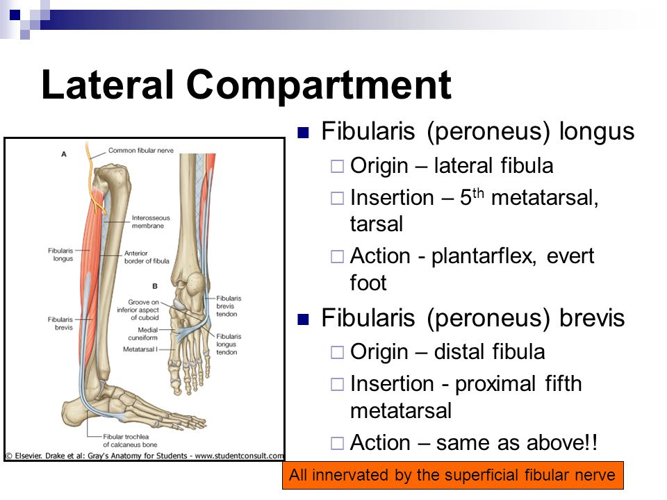 Lateral Compartment Fibularis (peroneus) longus