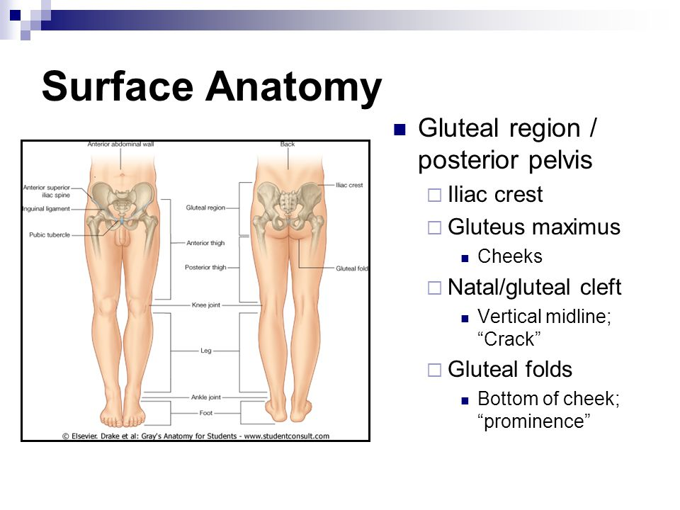 Surface Anatomy Gluteal region / posterior pelvis Iliac crest