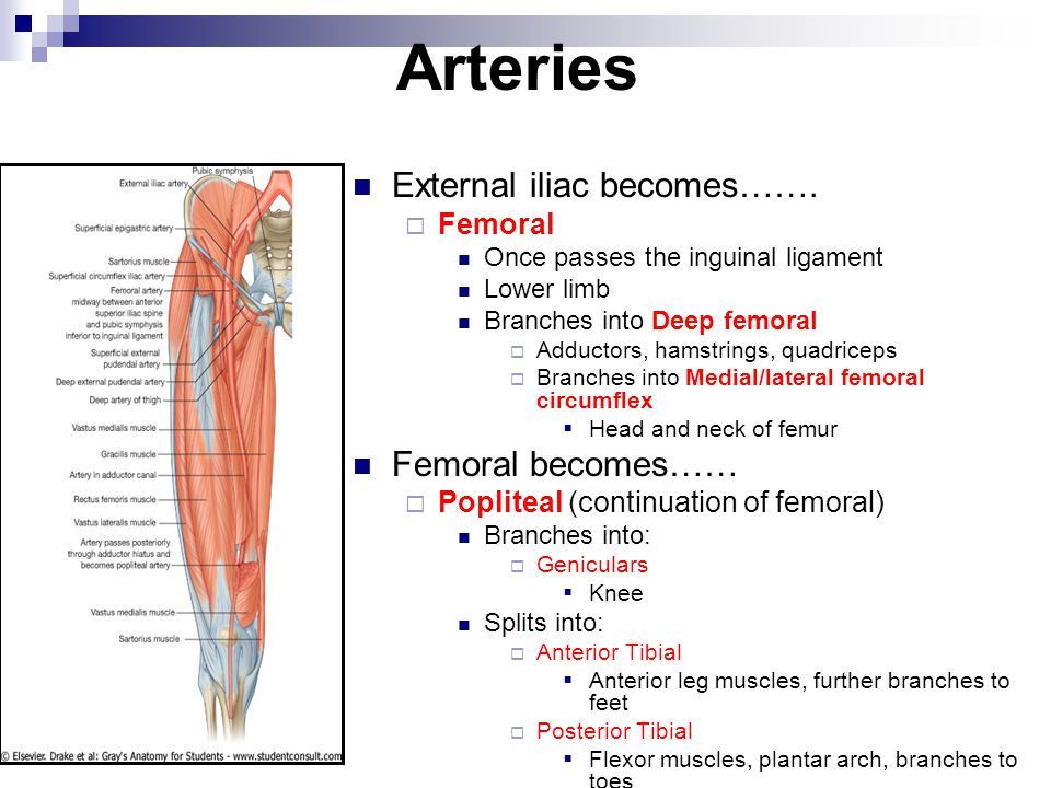 Arteries External iliac becomes……. Femoral becomes…… Femoral