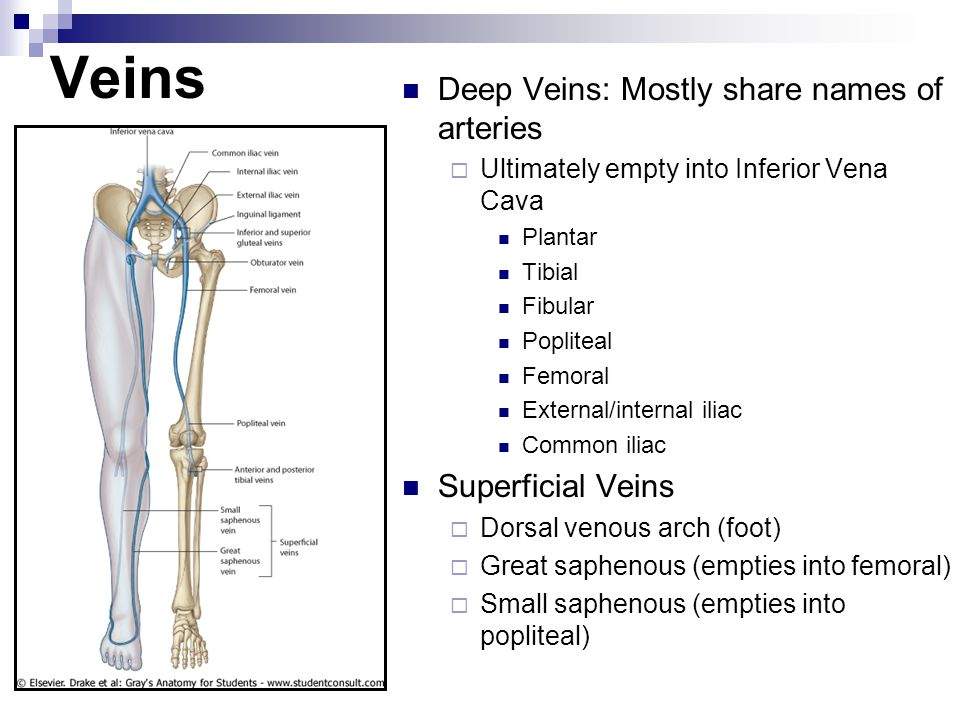 Veins Deep Veins: Mostly share names of arteries Superficial Veins
