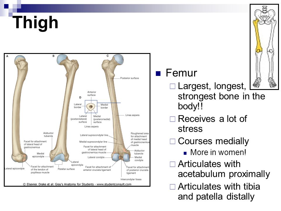 Thigh Femur Largest, longest, strongest bone in the body!!