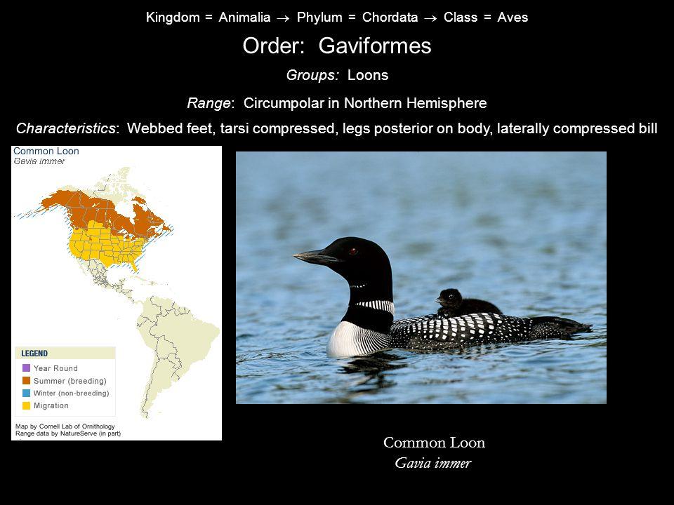 Order: Gaviformes Common Loon Gavia immer Groups: Loons