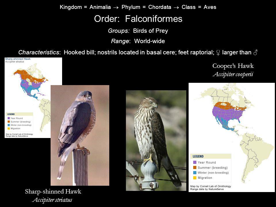 Order: Falconiformes Cooper's Hawk Golden Accipiter cooperii Eagle