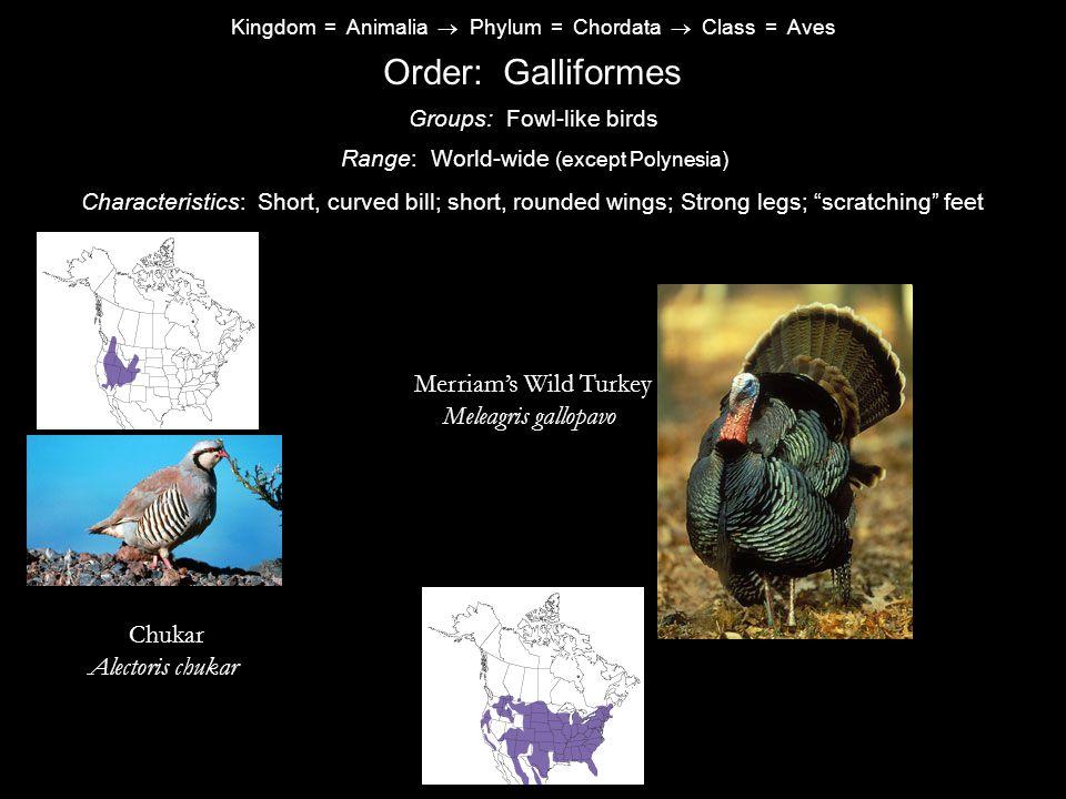 Order: Galliformes Merriam's Wild Turkey Meleagris gallopavo Chukar