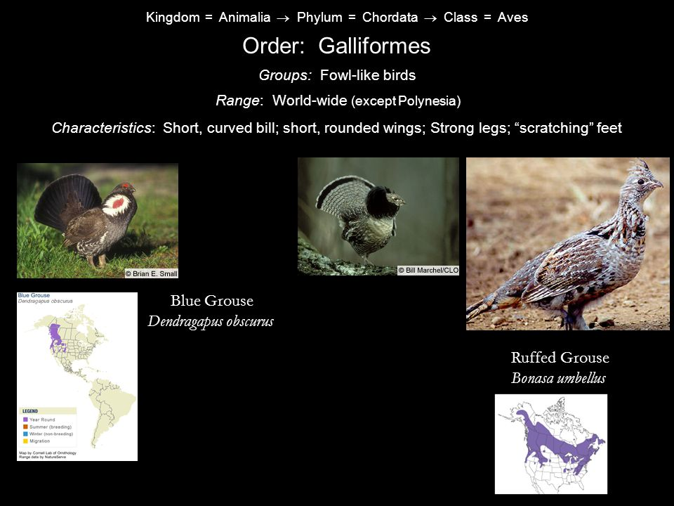 Order: Galliformes Blue Grouse Dendragapus obscurus Ruffed Grouse
