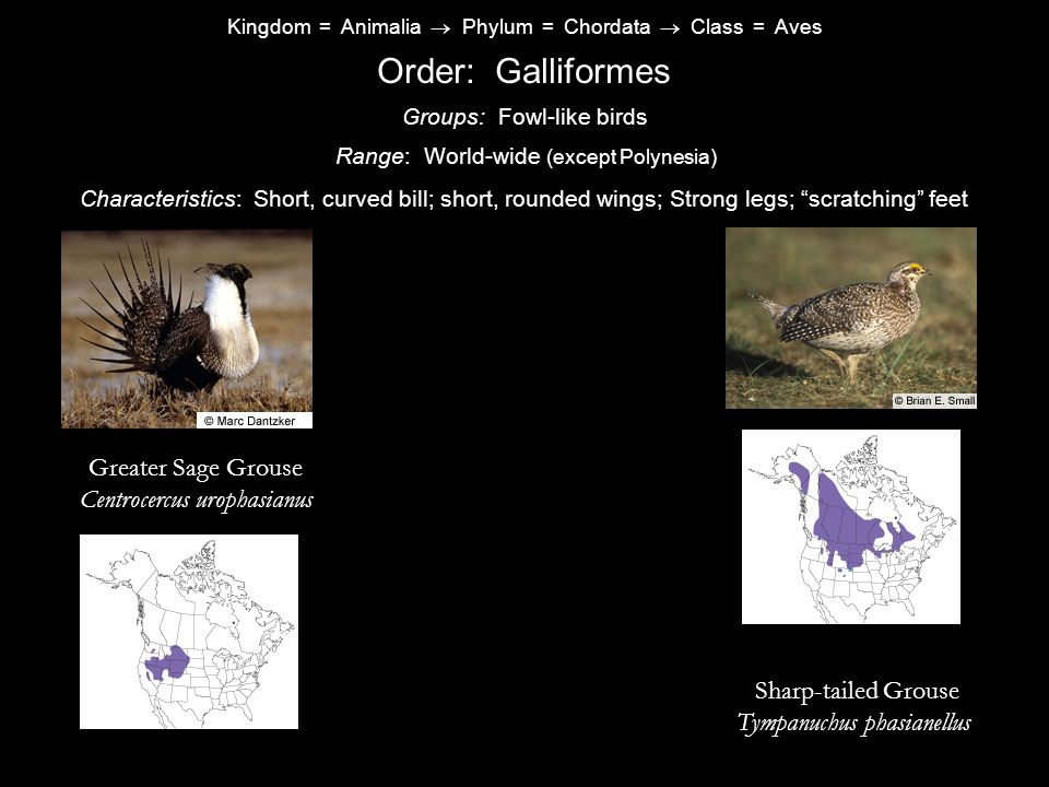 Order: Galliformes Greater Sage Grouse Centrocercus urophasianus