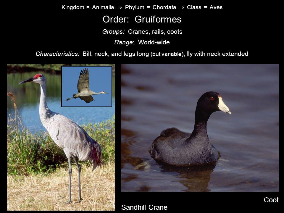 Order: Gruiformes Coot Sandhill Crane Groups: Cranes, rails, coots