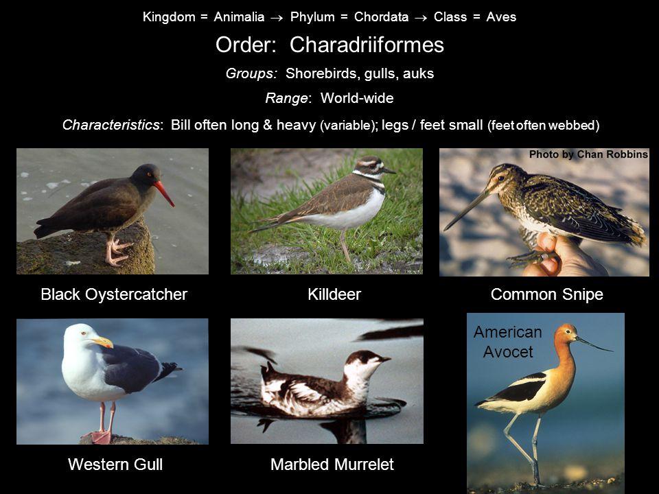 Order: Charadriiformes