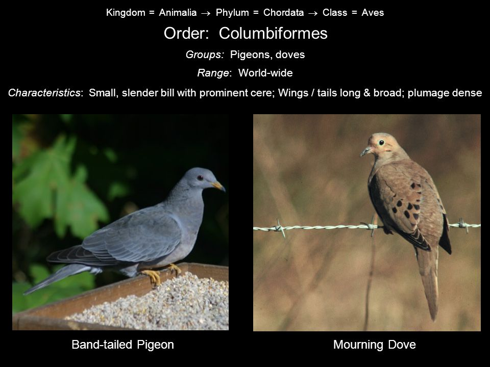 Order: Columbiformes Band-tailed Pigeon Mourning Dove