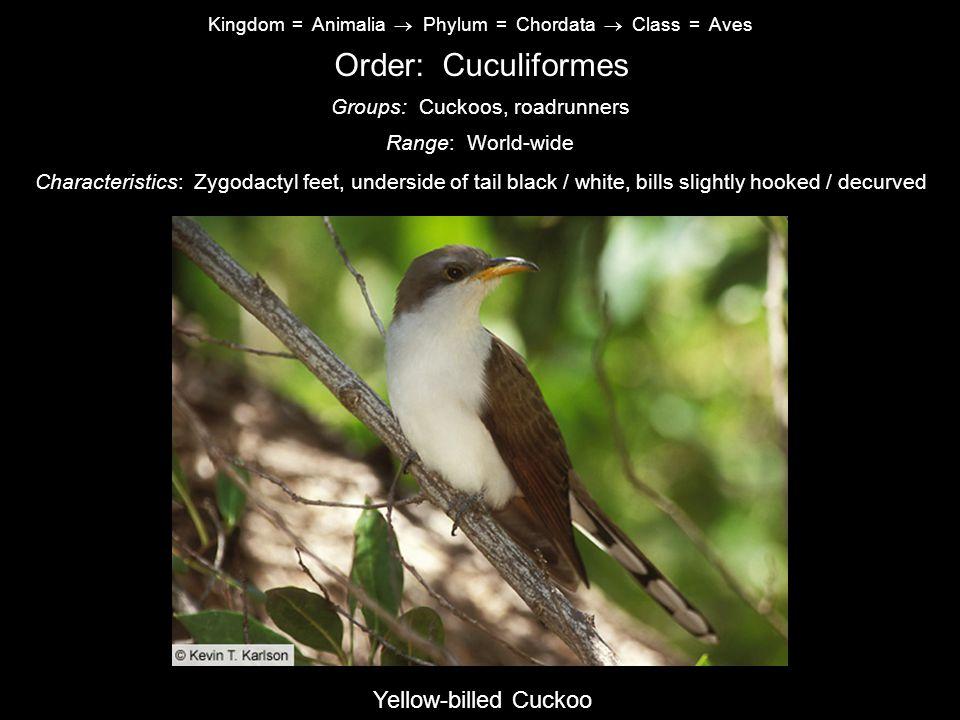 Order: Cuculiformes Yellow-billed Cuckoo Groups: Cuckoos, roadrunners
