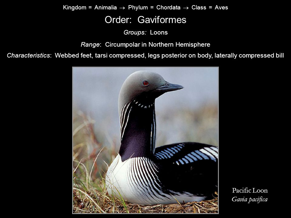 Order: Gaviformes Pacific Loon Gavia pacifica Groups: Loons