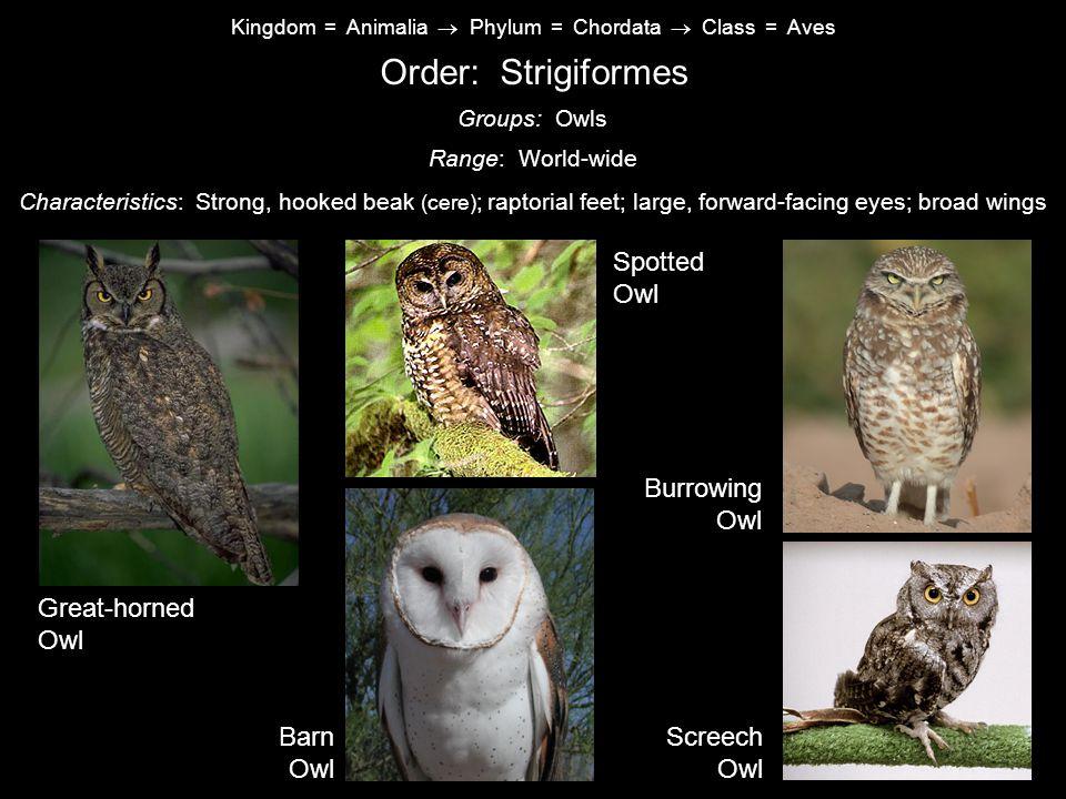 Order: Strigiformes Spotted Owl Burrowing Owl Great-horned Owl Barn