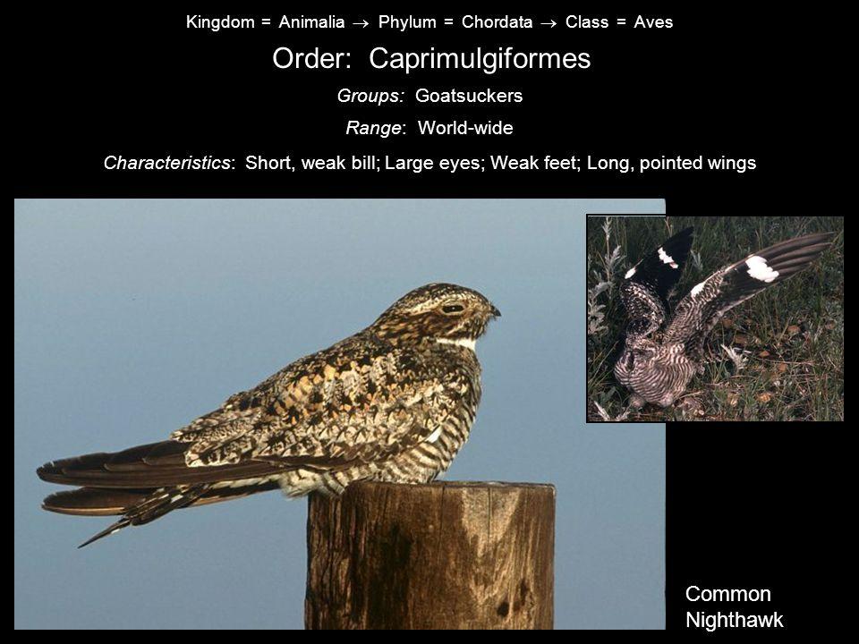 Order: Caprimulgiformes