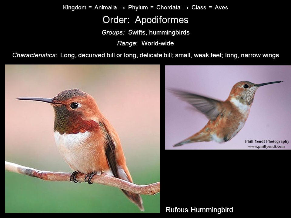 Order: Apodiformes Common Nighthawk Rufous Hummingbird